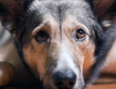 une-nouvelle-maladie-mortelle-se-propage-par-les-tiques-chez-les-chiens-voici-comment-les-proteger